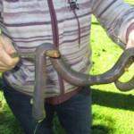 澳洲罕见2米长巨型蚯蚓出没