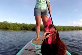 宠物母鸡坐划艇沉醉美景