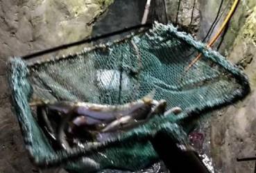 农户家里挖出鱼泉 每天冒出百斤河鱼