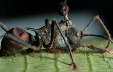神秘真菌将蚂蚁变成僵尸操控其为自己服务