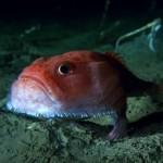 神秘怪鱼长着脚在海底走