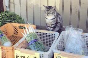 猫咪店员尽职蹲守无人蔬菜摊