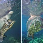 海龟被鱼线缠住 海豹赶来救援