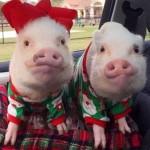 网红小猪圣诞装圈粉无数