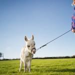 世界最小毛驴 还不到半米高