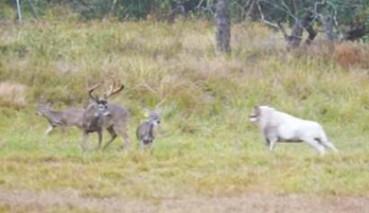 公羊发疯冲撞驯鹿被瞬间顶飞
