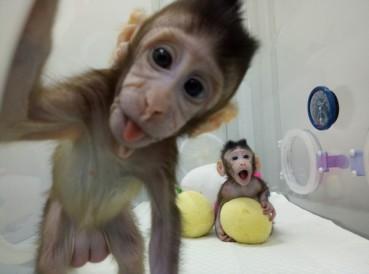 世界首个克隆猴在中国诞生 克隆人已无技术障碍
