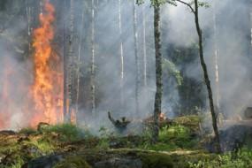 小鸟也会放火 借火灾获取食物
