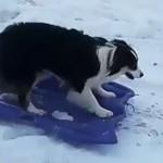 牧羊犬酷爱滑雪 自叼雪板上山过瘾
