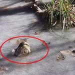 短吻鳄奇葩冬眠大法 冰面露出半截鼻子