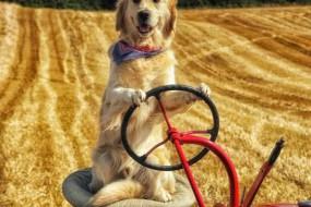 能干狗狗会开拖拉机耕地