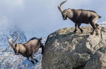 野山羊悬崖边决斗 失败者跳崖自尽
