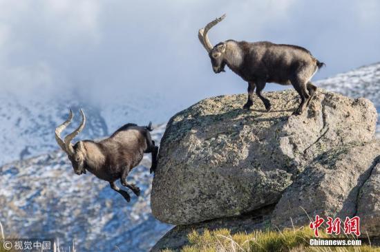 最终一只山羊跳下悬崖,这场惊心动魄的战斗才算结束。 图片来源:视觉中国-趣闻巴士