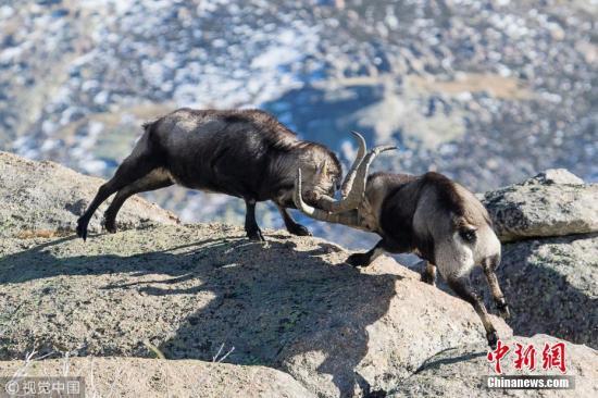 在西班牙卡斯蒂利亚-莱昂的一处悬崖上,一对雄性野生山羊进行决斗,它们用强有力的角作为武器。 图片来源:视觉中国-趣闻巴士