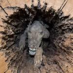 猎犬钻入橡树20年变木乃伊