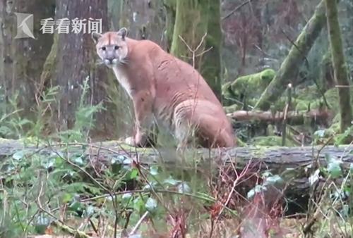 被美洲狮跟踪了一路 男子却神淡定:狡猾的小猫-趣闻巴士
