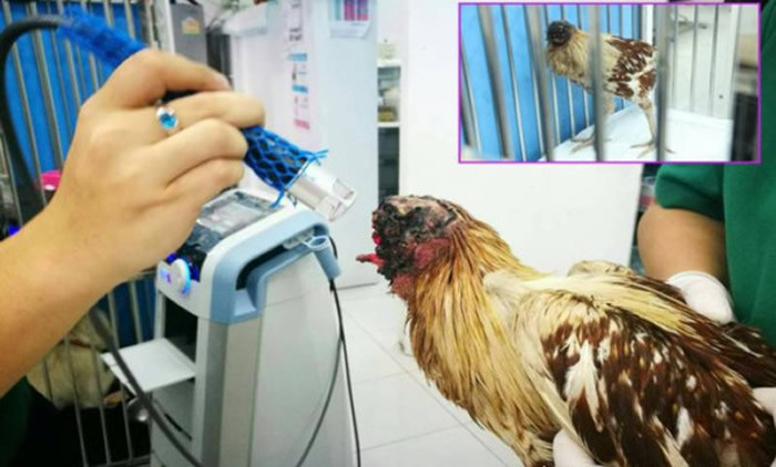 """泰国叻丕府寺庙僧侣发现一只""""无头鸡""""正在走动-趣闻巴士"""