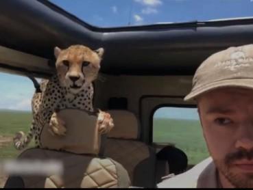 猎豹钻进汽车 游客石化十分钟化险为夷