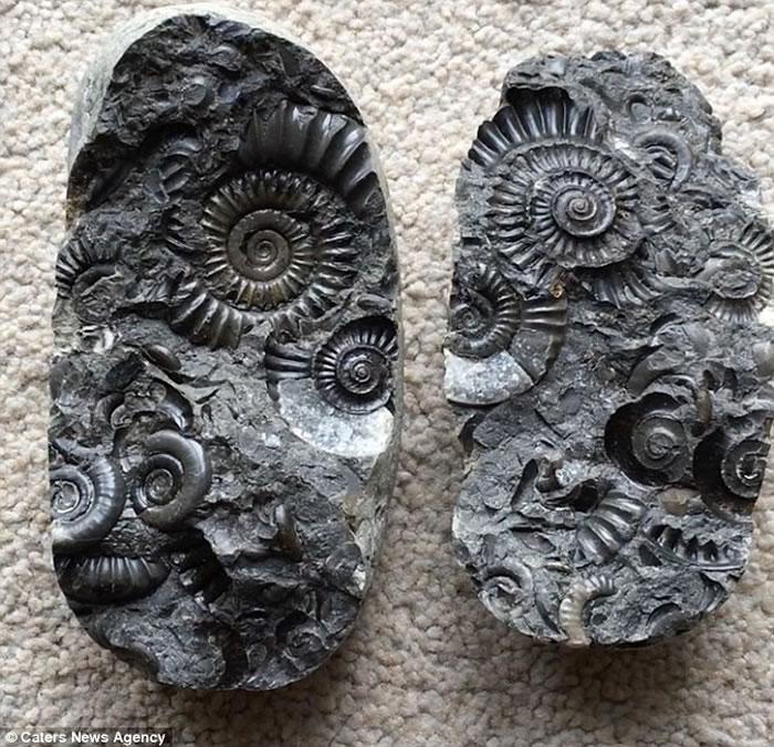 英国男子童年捡到怪石 劈开后发现1.8亿年历史菊石-趣闻巴士
