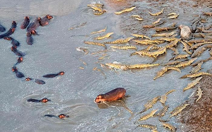 赞比亚南卢安瓜国家公园一群河马为同伴报仇大战上百只鳄鱼-趣闻巴士