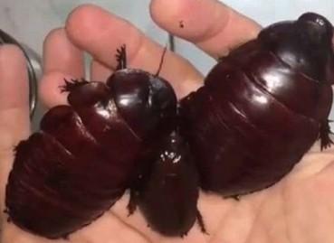 澳洲巨无霸犀牛蟑螂成另类宠物