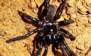 世界最长寿蜘蛛活了43年