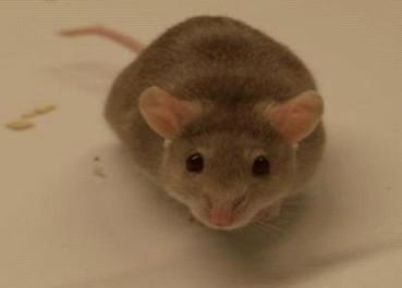 癌症新疗法能治老鼠体内97%肿瘤