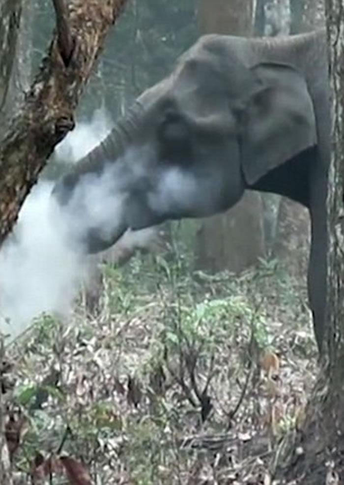 大象口吐白烟,就像正抽烟一样。-趣闻巴士