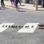 小鸭也懂交通规则 齐刷刷走过斑马线