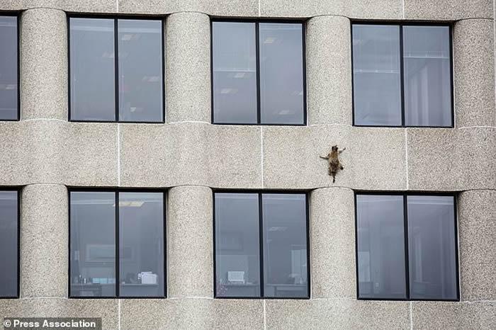 """美国明尼苏达州圣保罗市浣熊变身""""蜘蛛人""""爬上大楼外墙-趣闻巴士"""
