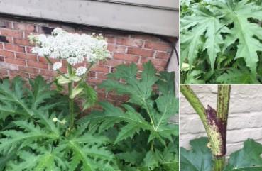 美国巨型植物蔓延 人一接触就中毒