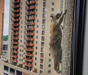 这天美国民众都在操心一只浣熊