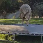 绵羊迷上蹦床 经常自娱自乐