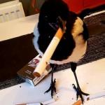受伤小喜鹊被救后赖在主人家里学会开啤酒