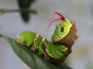 虫虫也卖萌 蝴蝶幼虫伪装毒蛇还吐信子