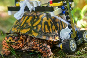 受伤乌龟坐乐高轮椅