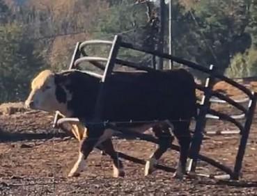 壮硕公牛戴着护栏散步
