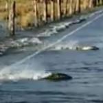 洪水后鲑鱼游上了大马路