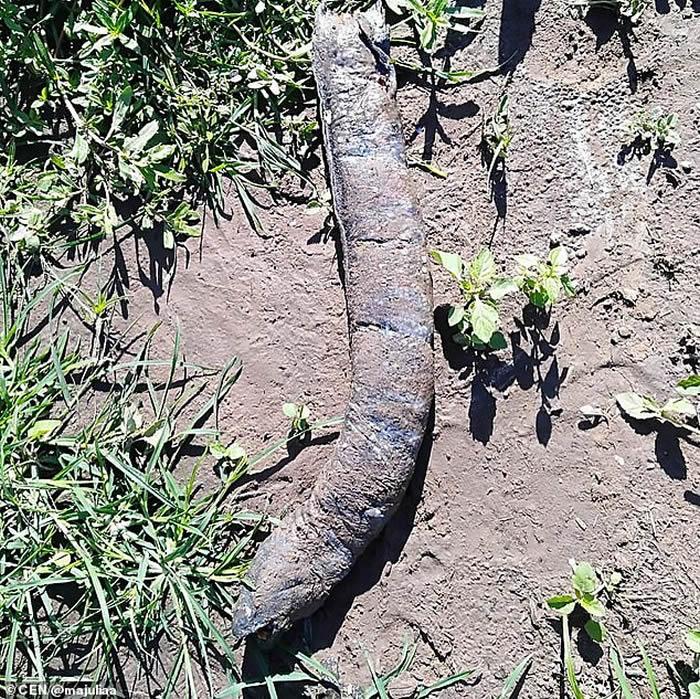 阿根廷女子在田里泥土上发现长着人类牙齿的怪物 专家称:美洲肺鱼-趣闻巴士