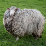 绵羊走失7年 找到时成了巨型毛球