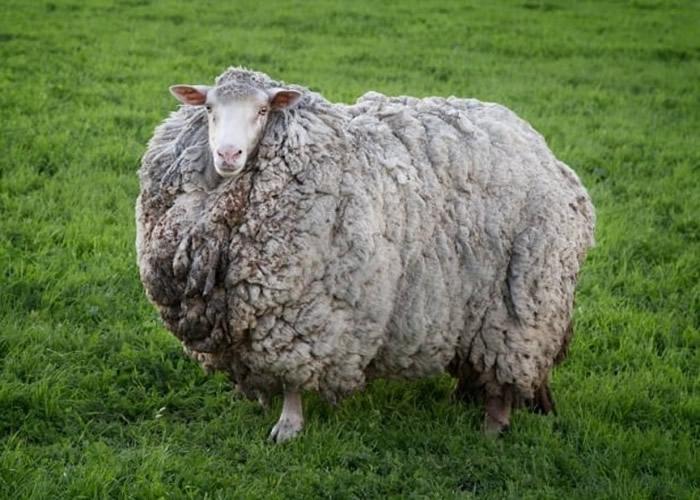 澳洲塔斯马尼亚绵羊走失7年成巨型毛球 主人邀网民竞猜羊毛重量-趣闻巴士